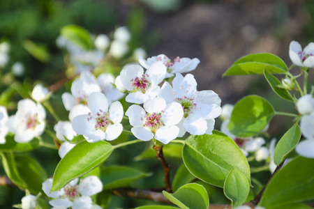 Spring white flowers of apple tree on tree close up