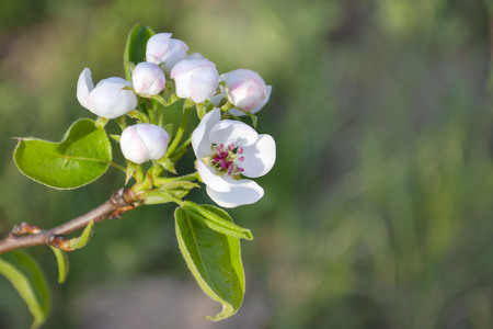Apple tree branch with flowers close up on a blurred background 写真素材