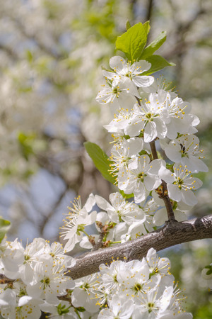 Beautiful apple tree branch with flowers in spring in warm light