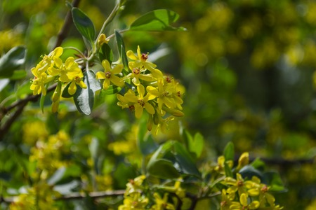 Branch with flowers of golden currant in spring