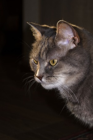 Portrait of a gray cat in the rays of the setting sun