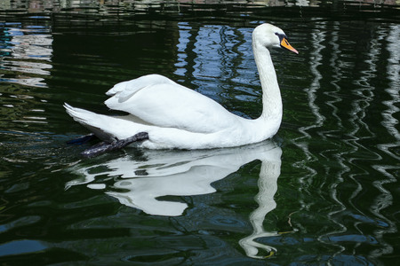 white swan swimming in a pond 写真素材