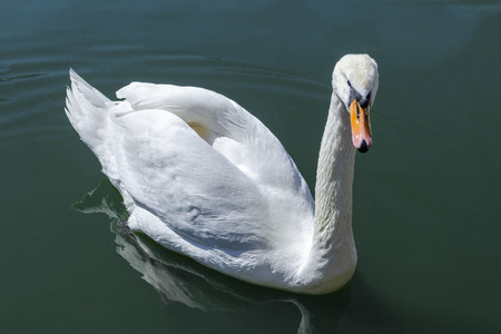 White swan swimming in the water close up
