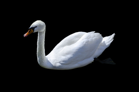 White swan swimming. Isolate on black background.