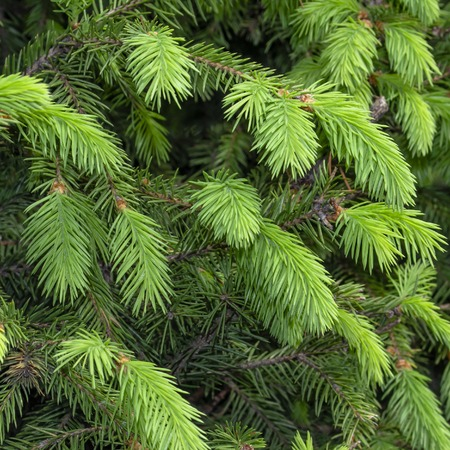 texture of young spruce branches in square format 版權商用圖片