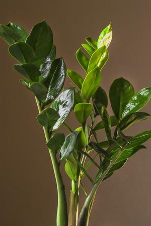Zamiokulkas close up on brown background 版權商用圖片