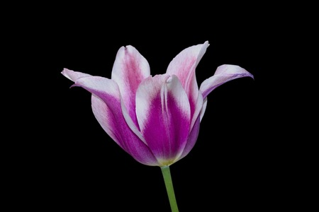Pink tulip with white edges. Close-up. Isolate on black background.