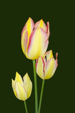 Yellow tulips with pink border close up isolate on black background