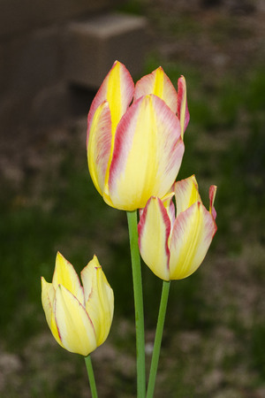 Yellow tulips with pink border close-up on a background of blurred soil