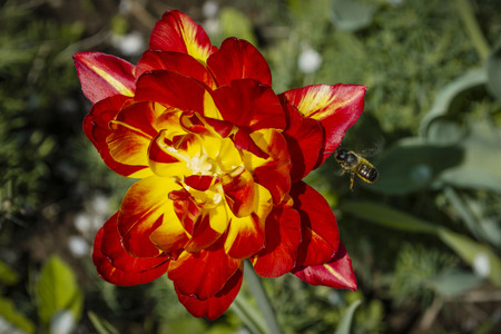 A beautiful red and yellow terry tulip and a bee flying towards it. 版權商用圖片