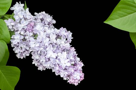 Purple terry lilac close-up with green leaves around isolate on black background 版權商用圖片