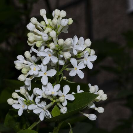 White blooming lilac with leaves on a dark background. Square frame