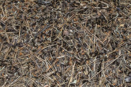 Background. Texture. Ants crawling among dry pine needles in an anthill