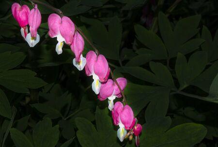 center - broken heart close up against the background of dark foliage 版權商用圖片