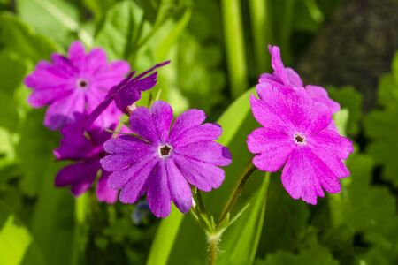 Lilac flowers of a primrose close up against a background of a green grass 版權商用圖片