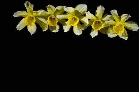 row of yellow daffodils isolate on black background 版權商用圖片