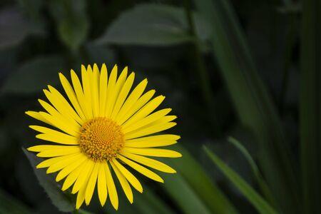 yellow doronicum flower close up on dark background 版權商用圖片