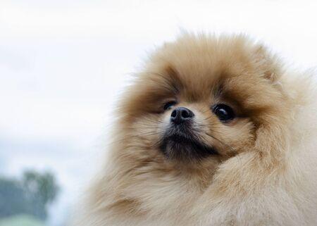 Closeup portrait of red pomeranian spitz-dog