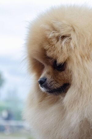 Cute red pomeranian spitz looking down frame