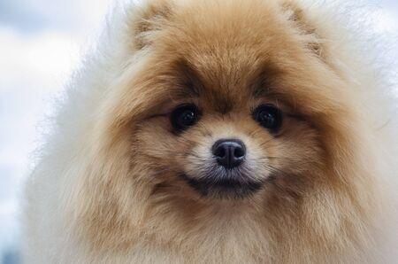 Red pomeranian dog looks straight up