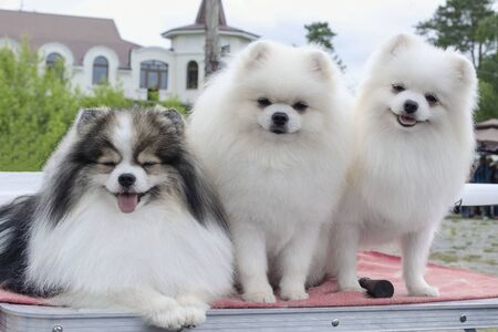 Three Pomeranian Spitz sitting together and looking into the camera