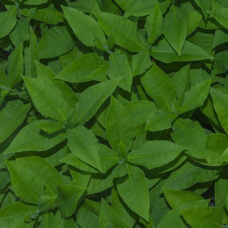 Background texture of green leaves Phlox