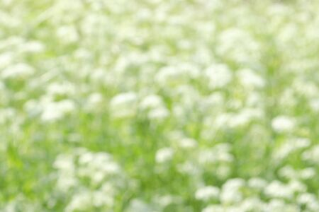 Blurred field background with white flowers. Substrate. 版權商用圖片