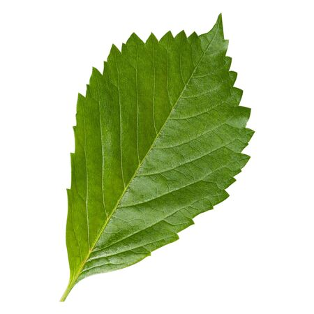 Green leaf close up in very large size isolate on white background 版權商用圖片