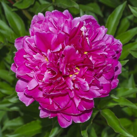 pink fluffy peony in the bright light on the background of green foliage 版權商用圖片