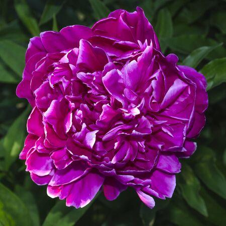 Pink peony close-up on the background of a green bush 版權商用圖片
