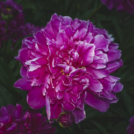 Pink peony on a background of dark green