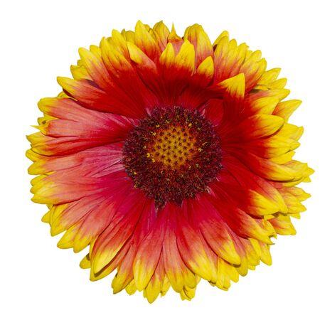 Red - yellow daisy gaillardia. Insulate on white background 版權商用圖片