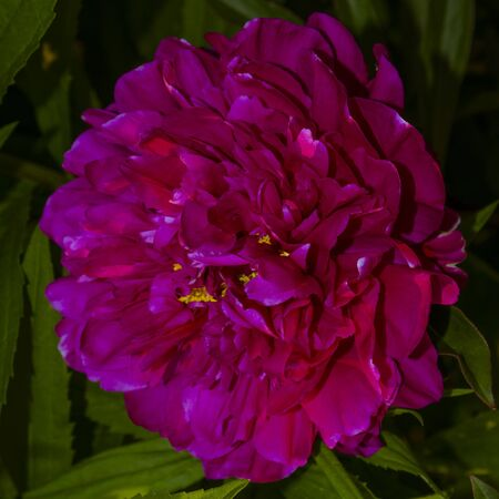 Dark pink peony in a dark tinted close-up