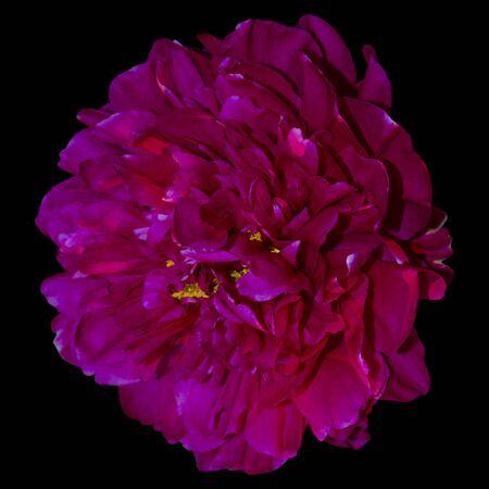 Dark pink peony isolate on black background