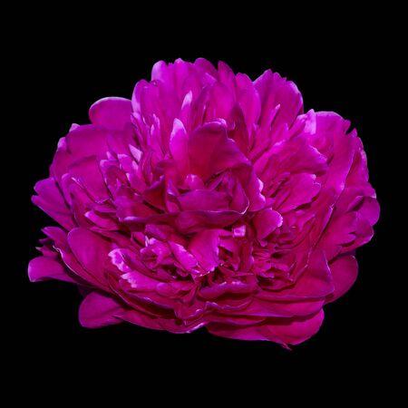 Pink opened fluffy peony close up isolate on black background 版權商用圖片