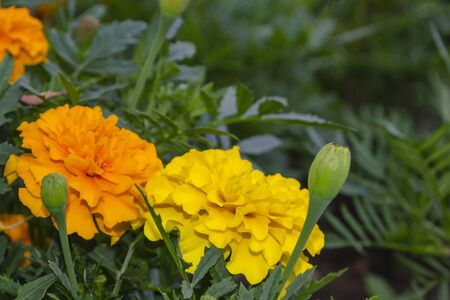 Yellow and orange flowers of marigolds in the lower corner of the frame. Tagetes