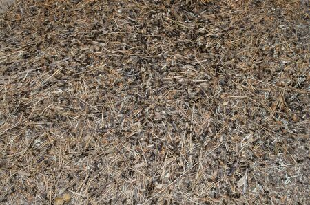 Ants crawling among dry pine needles in an anthill