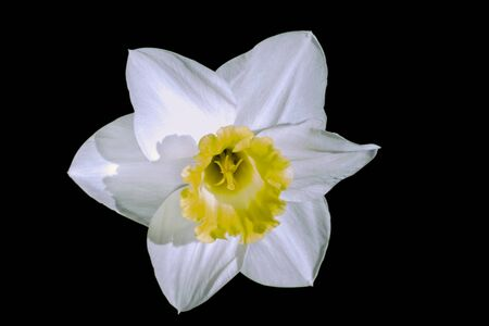 beautiful spring flower narcissus isolate on black background 스톡 콘텐츠