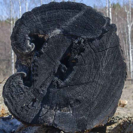 Cut down from burnt wood in nature close up