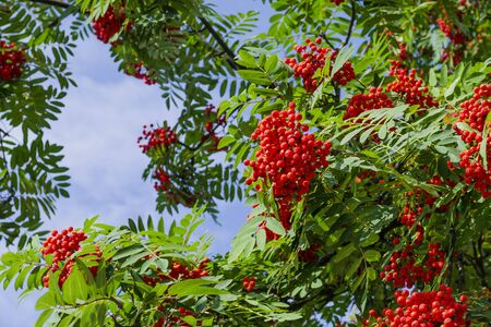 Clusters of red rowan on the background of bright green foliage and blue sky. Sorbus.