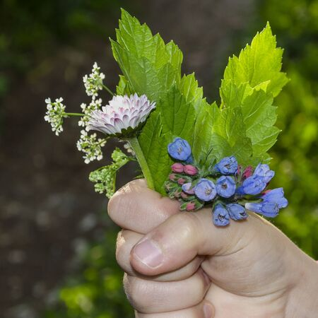 The child holds a bunch of flowers of the leaves of the currant leaves, margraitki. Bellis perennis, Ribes, Pulmonaria Stock fotó