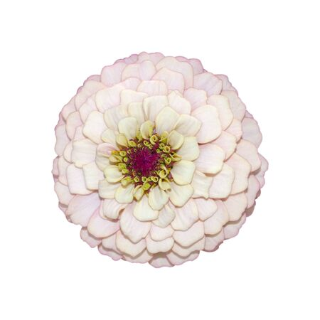 Delicate pink single zinnia flower. Isolate on a white background. Stock fotó