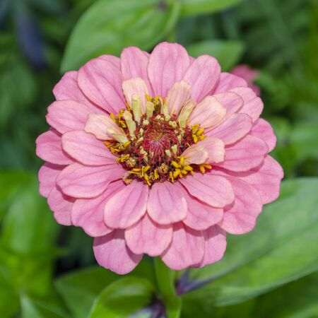 Tender pink terry zinnia on a background of foliage.