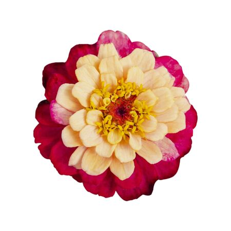 Zinnia beige pink terry closeup. Isolate on a white background.
