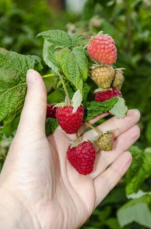 A female hand holds a large red raspberry on a bush. Rubus idaeus Reklamní fotografie