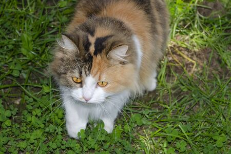 A motley red-white cat with yellow eyes sneaks in the grass Zdjęcie Seryjne