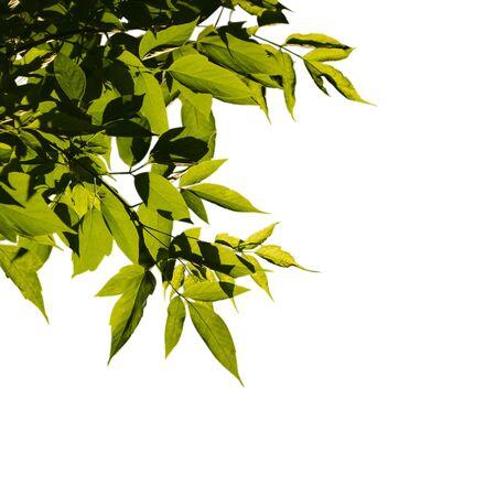 Aschezweige im Gegenlicht mit hellen Blättern und dunklen Schatten. Auf weißem Hintergrund isolieren.