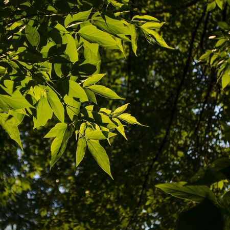 Ash leaves in backlight on a blurred background 写真素材