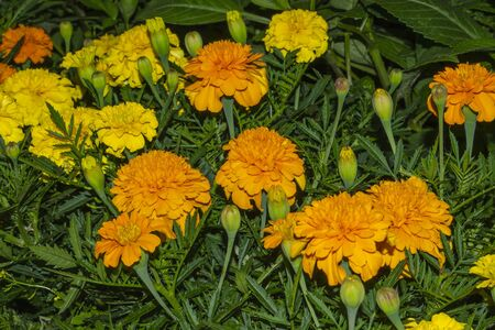Beautiful flowers of yellow and orange marigolds. Tagetes 스톡 콘텐츠