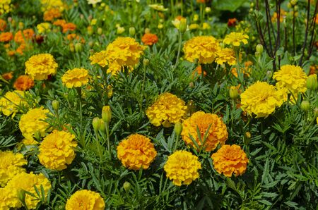 Beautiful yellow marigolds on a sunny day in the flowerbed. Summer. Tagetes